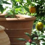 Stora krukor i och ljuvliga växter i Mälardalens lilla Medelhavsoas.