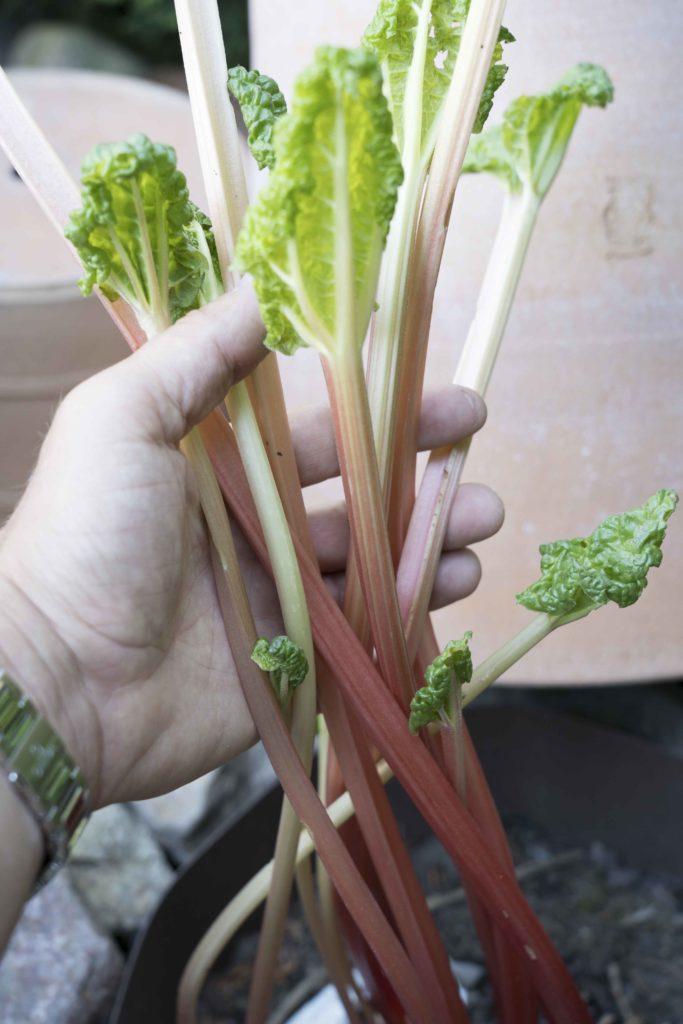 Rabarberkrukan gör att rabarbern står varmt och vindstilla. Stjälkarna växter fort, blir röda och mjälla och saftigare än annars!