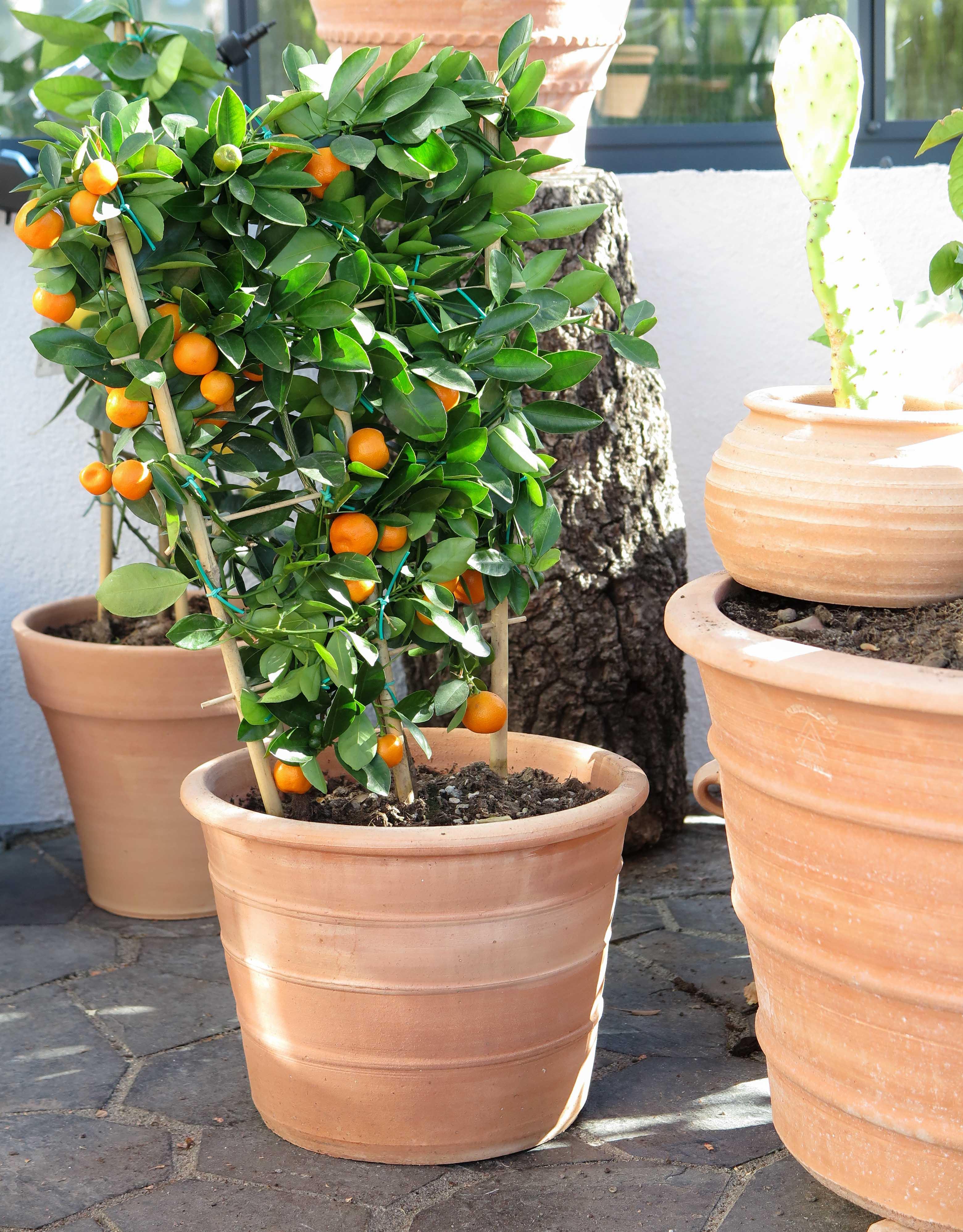 Handgjorda krukor från Kreta. Krukorna är frosttåliga och är av allra högsta kvalitet.