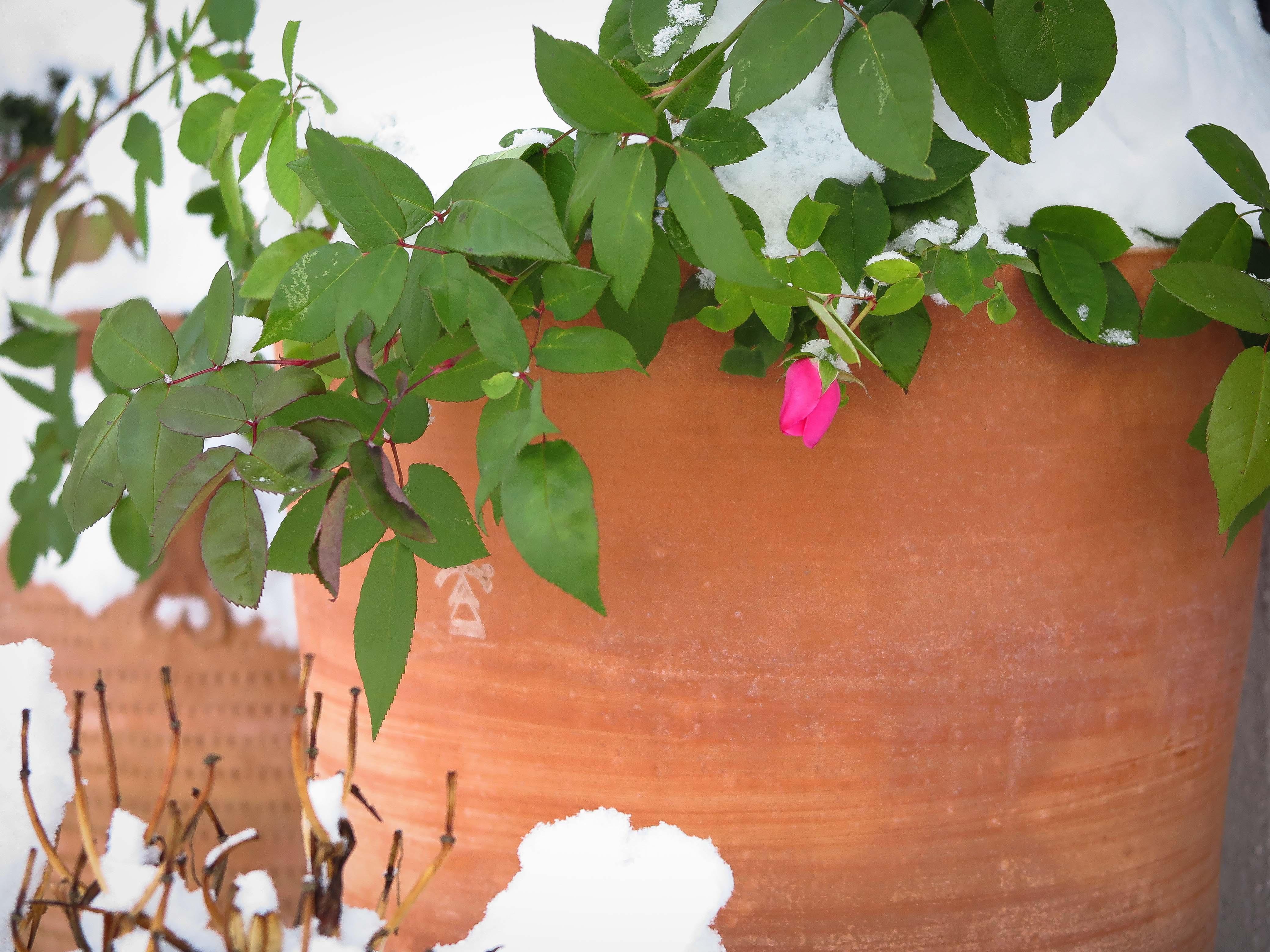 Vintertåliga krukor. Frosttåliga höga krukor. Stora krukor av terrakotta.