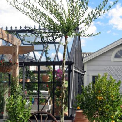 Pilmera™: Köldtålig palm i stor kruka. Bästa lösningen för att uppnå exotisk miljö i svenskt klimat!
