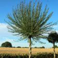 Palm för svensk vinter, bättre än väderkvarnspalm