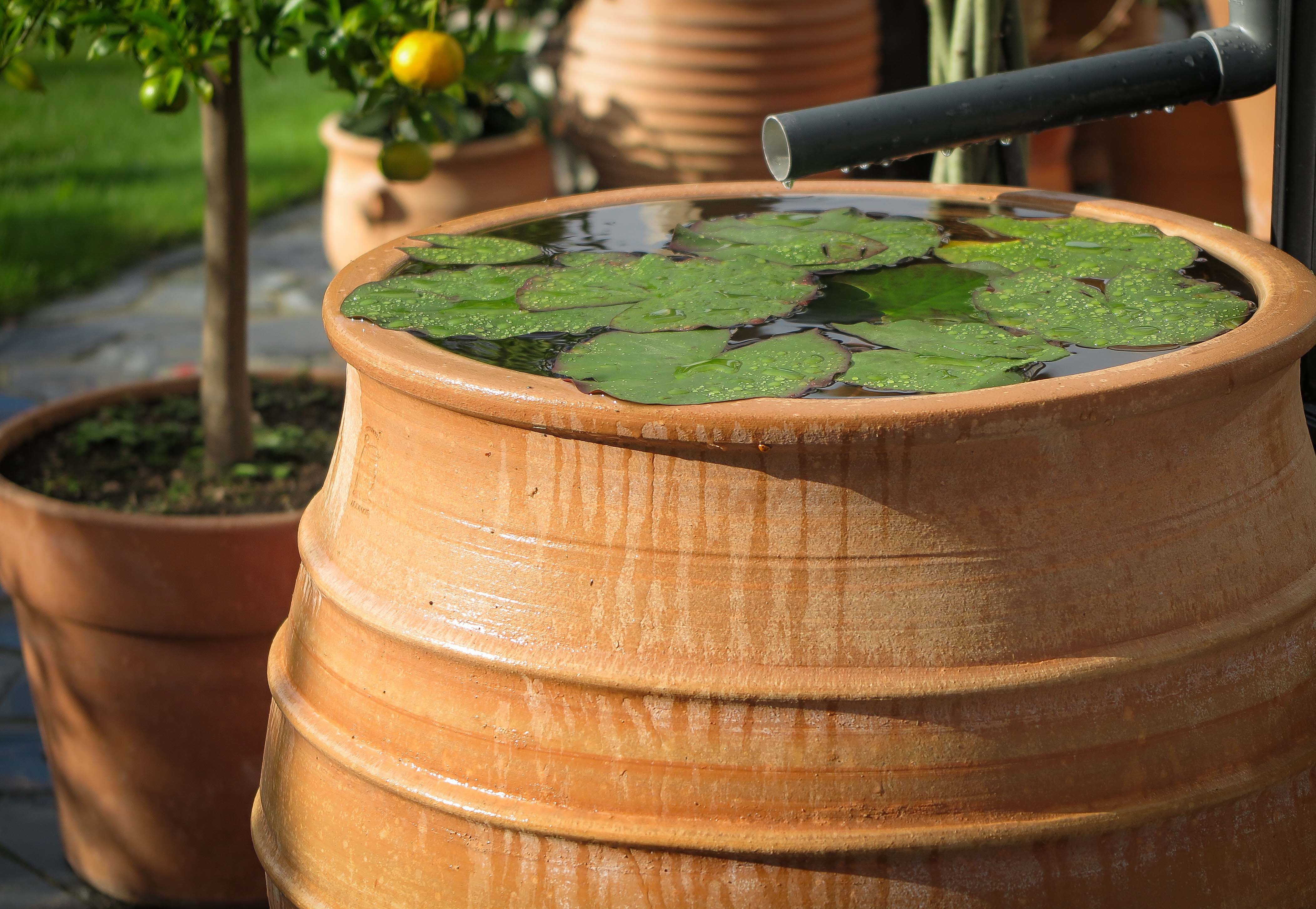 Vattentunna med flytväxter näckrosor